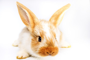 colored rabbit with a nice muzzle on a white background