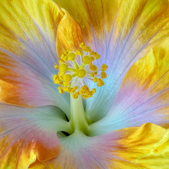Fine art still life floral color macro flower image of the pistil of a single isolated blooming open yellow hibiscus blossom with detailed texture