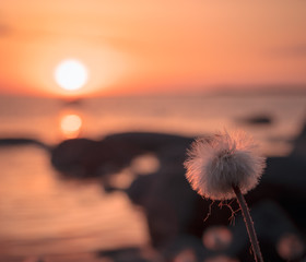 Foto op Canvas Paardenbloem Fluffy dandilion by the lake at sunset