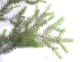 branch of spruce on a white background