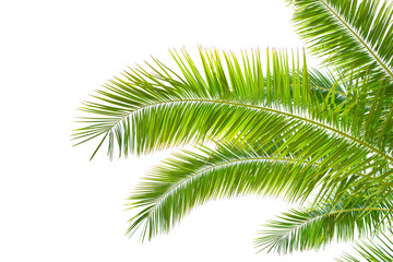 Isolated Palm leaves on white background.