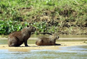 Two Capybaras on River Bank. Pantanal, Brazil
