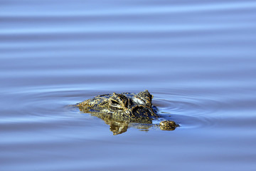 Yacare Caiman (Caiman yacare) in the Water. Porto Jofre, Pantanal, Brazil