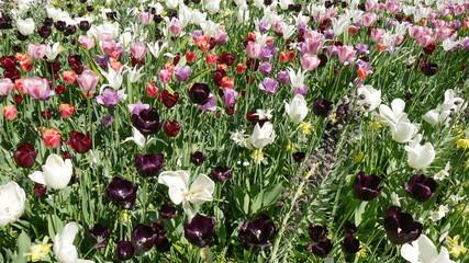 Coltivazione fiori in Olanda