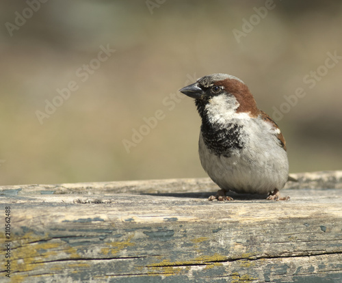 House Sparrow Stock Photo And Royalty Free Images On Fotolia