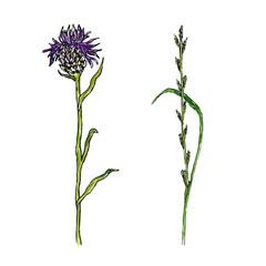 Wild flower illustration. Thistle medecine herbal. Vector watercolor effect.