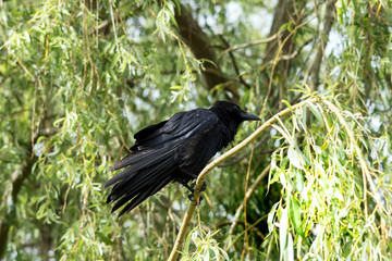 Crow, Corvus corone, with ruffled feathers