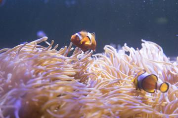 Clown Fish (Amphiprion ocellaris) swimming in sea anemones in aquarium