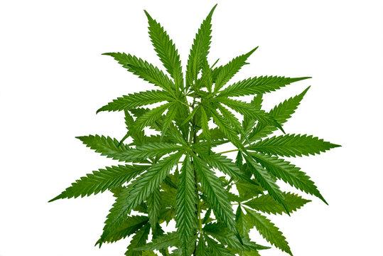 Wild marijuana plant isolated on the white background. Selective focus.