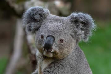 Photo Stands Koala Queensland Koala