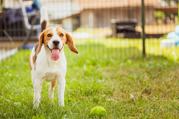 Beagle dog in a garden with tongue out