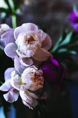 Peony flowers, close up, dark tones