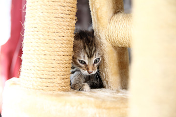 Small gray striped european shorthair cat plays in the garden