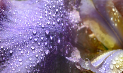 beautiful violet petal of an iris flower with large and small drops of rain, natural tender floral texture, background