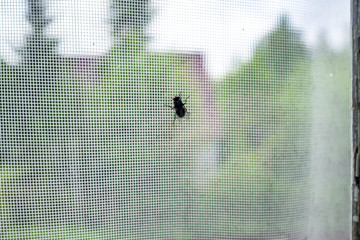 The fly (Diptera) sits on the window glass behind which is a mosquito net, in the countryside.