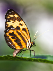 Close-up of a tropical milkweed butterfly, lycorea halia, perched on a green leaf against a soft focus background