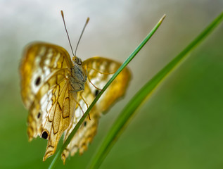 Close-up of a white peacock, anartia jatrophae, butterfly perched on a green leaf against a soft focus background