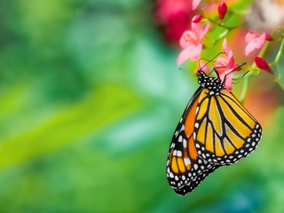 Close-up of a monarch butterfly, Danaus plexippus, upside-down pollinating a pink flower against a soft focus background