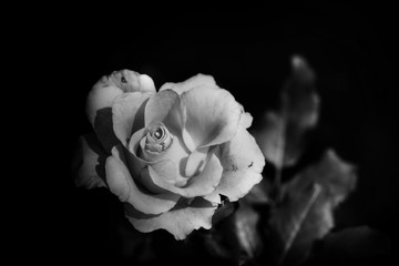 rose flower in monochrome