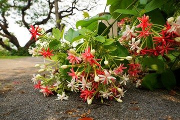 Red and white Combretum indicum flowers on the road. Flora background, Rangoon Creeper, copy space.