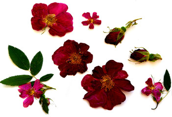 set dry pressed pink and maroon flowers and rosehip buds and green leaves. medicinal plant. herbarium, scrapbooking