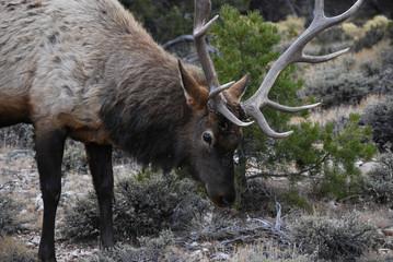 Beautiful male elk close up portrait
