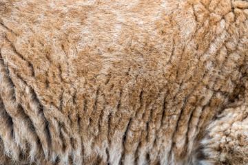 Wall Mural - Closeup real lion cub skin texture