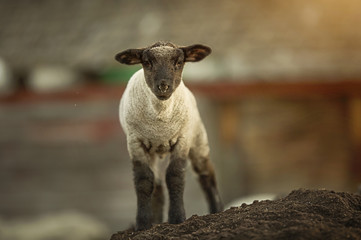 Fond de hotte en verre imprimé Sheep Baby Goat