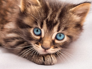 A little striped kitten with blue eyes lays and looks at the owner. Kitten is in danger, close-up_
