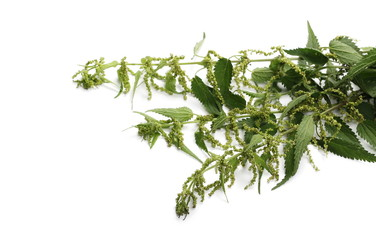 Common nettle isolated on white background, Urtica dioica