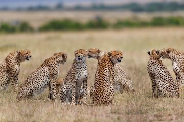 Wall Mural - Sensation. Eight Cheetahs, one female Malaika and seven males, durung mating time in Masai Mara, Kenya