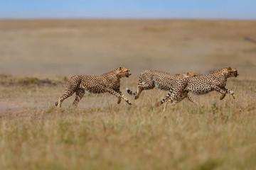 Wall Mural - Three running cheethas in Masai Mara, Kenya