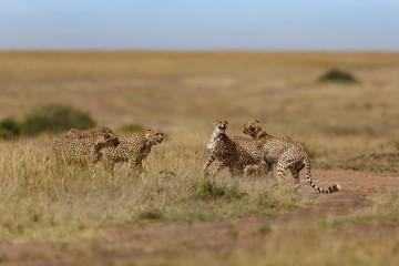 Wall Mural - Six cheetahs fighting during mating time in the wilderness of Masai Mara, Kenya
