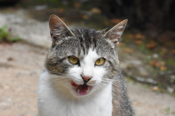 Domestic cat licking her lips. Cat yawning and ask for food