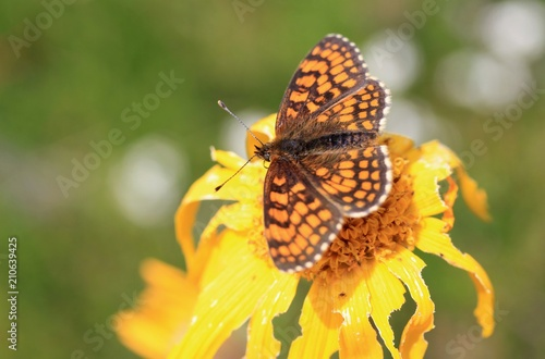 Papillon Sur Une Fleur D Arnica Stock Photo And Royalty Free Images