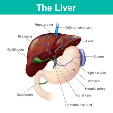 The liver is the only human internal organ capable of natural regeneration of lost tissue.This is however, not true regeneration but rather compensatory growth in mammals.
