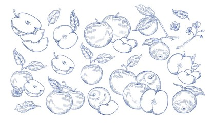 Bundle of monochrome drawings of whole and cut apples, slices, tree branches and flowers. Collection of fresh juicy fruit hand drawn with contour lines on white background. Vector illustration.