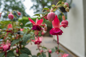 Close up view of pink fuchsia flowers.