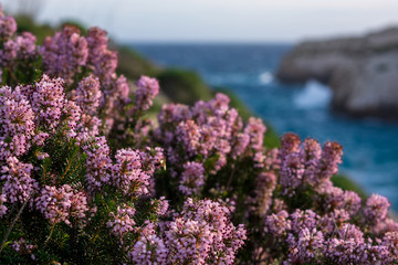 Blossom Mediterranean pink heather (Erica) coastline. Malta flora. Island of Gozo, winter. Close up, shallow depth of field.
