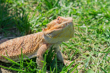 Closeup of a Bearded Dragon (Pogona vitticeps) on green grass. Exotic domestic pet.