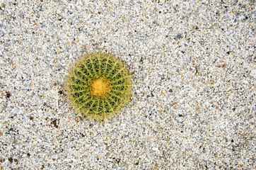 Cactus with yellow flowers echinocactus grusonii