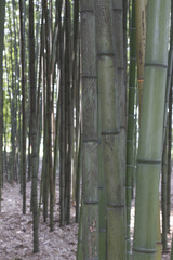 Bamboo trees forest pattern