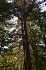 Redwood Forest with Conifer Trees in California