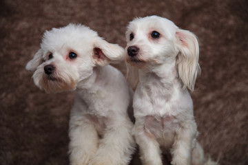 curious bichon couple looks to side while sitting