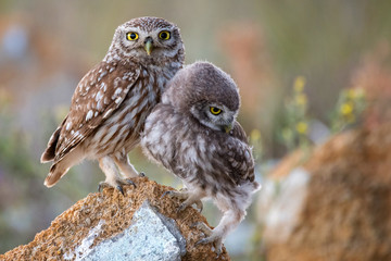 Fototapete - The little owl (Athene noctua) with his chick standing on a stone
