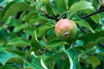 an unripe apple on a branch