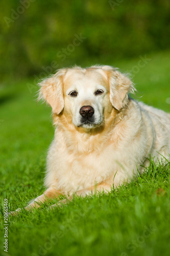 bergewichtiger golden retriever in einer wiese stockfotos und lizenzfreie bilder auf fotolia. Black Bedroom Furniture Sets. Home Design Ideas