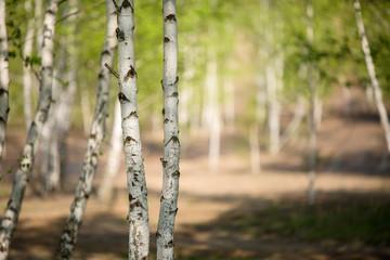 Photo of birch grove in summer.