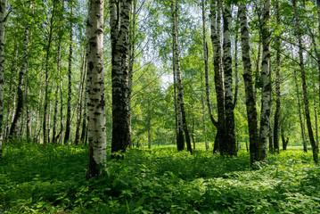 Green trees in summer park