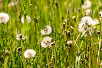 White dandelions in the grass